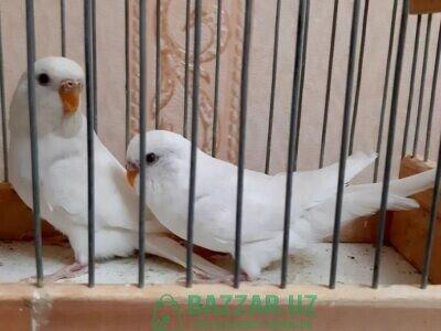 Albino's papugay