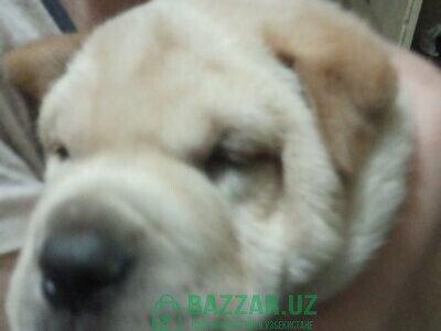 Продаётся щенок породы шарпей китаец