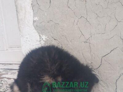 Продаю щенок немецкая овчарок