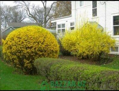 Тюльпанивый дерево, очень красиво цветёт бистро ра