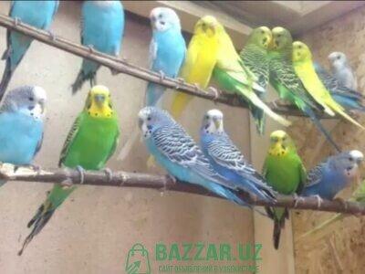 Продаю волнистых попугайчиков цвета разные 25 000