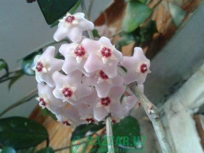 Хойя — красиво цветущее растение.