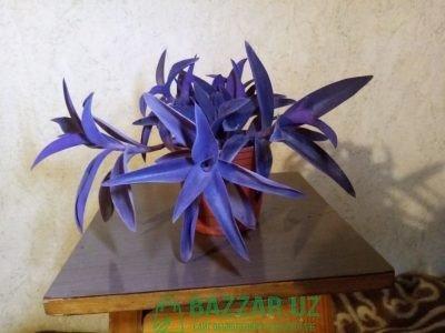Сеткреазия пурпурная.