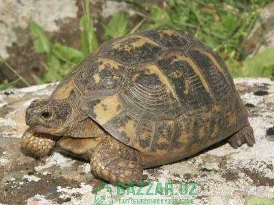 Большие черепахи,katta toshbaqalar giganti