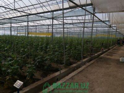 Самарканда 2,5 гектар янги хитой иссикхона(теплица